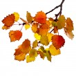 Colorful autumn aspen tree branch isolated on white background — Stock Photo