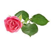 Eine rosa rose blume — Stockfoto