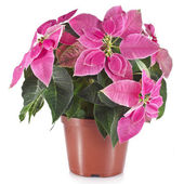 Christmas flower poinsettia in flowerpot — Stock Photo