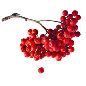 Bunch of red rowan berries — Stock Photo