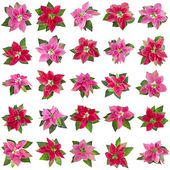 Collection set of christmas flower poinsettia — Stock Photo