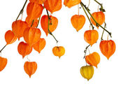 Colorful autumn decoration background with physalis Isolated on white — Stock Photo