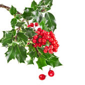 Sprig of European holly ilex christmas decoration — Stock Photo