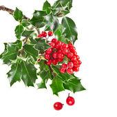 Sprig of European holly ilex christmas decoration — Stock Photo