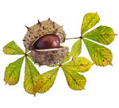 Autumn Leaf of horse chestnut tree and nut on a white background — Stock Photo
