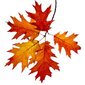Autumn twig of colored falling leafs of red oak tree — Stock Photo