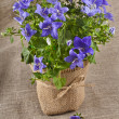 Bunch bouquet of bluebell flowers — 图库照片