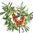 Sea buckthorn branch isolated on the white background - Stock Photo