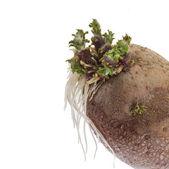 Potato sprouts isolated on white — Stock Photo