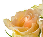One single cream rose bud with water drops isolated on white — Stock Photo