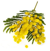 Bouquet mimosa acacia flowers isolated on white background — Stock Photo