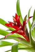 Bromeliad plant (Guzmania) — Stock Photo