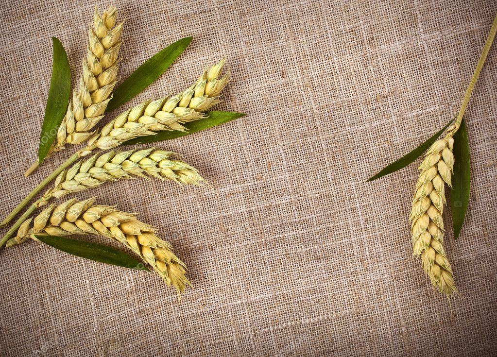 Колоски пшеницы своими руками 11