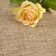 Single cream rose on canvas cloth texture card for text — Stock fotografie