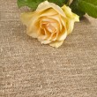 Single cream rose on canvas cloth texture card for text - Stock Photo