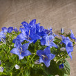 Bunch of blue color campanula flowers on canvas texture with copyspace — Stok fotoğraf