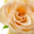 One single beige rose bud with water drops isolated on white — Stok fotoğraf