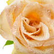 One single beige rose bud with water drops isolated on white — Photo