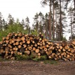 Stock Photo: Spruce Timber Logging in Forest