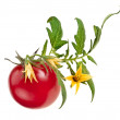 Tomato plant with flowers isolated on white — Stock Photo