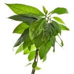 Avocado tree on white background — Stock Photo #21190605