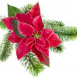 Christmas flower - Red poinsettia with fir branch isolated on a white background — Stock fotografie
