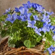 Blue color campanula flowers in basket on canvas background - Photo