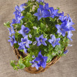 Blue color campanula flowers in basket on canvas background — Stock Photo