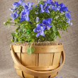 Blue color campanula flowers — Stock Photo