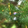 Branch of wet pine needles and colorful bubble — Stock Photo