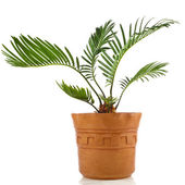 Palm tree in clay flowerpot isolated on white background — Stock Photo