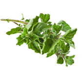 Fresh green sprig oregano or marjoram (Origanum Vulgare L.) isolated — Stock Photo