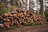 Spruce Timber Logging in Forest — Stock Photo