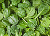 Frische grüne blätter, spinat oder pak-choi — Stockfoto