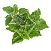 Fresh green sprig oregano or marjoram (Origanum Vulgare L.) isolated — Stock Photo