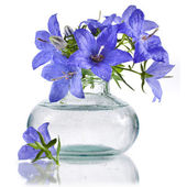 Bouquet bunch of blue campanula flowers in glass bottle isolated on white background — Stock Photo