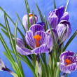 Crocus flowers bouquet in flower pot on blue background — Stock Photo