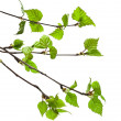 Birch branches on a white background — Stock Photo