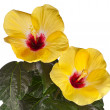 Yellow hibiscus flower isolated on white background. Clipping path included. — Stock Photo #23528955