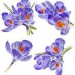 Collection set of purple crocus flower isolated on white background — Stock Photo