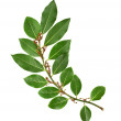 Branch of fresh bay laurel leaves isolated on white — Stock Photo #23529009
