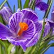 Crocus flowers bouquet in flower pot on blue background — Stock Photo #23529067