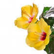 Yellow hibiscus flower isolated on white background. Clipping path included. — Stock Photo #23529119