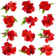 Collection set of red Impatiens flower head isolated on white background — Stock Photo