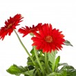 Bouquet of gerbera flowers with copyspace on white background — Stock Photo