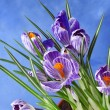 Crocus flowers bouquet in flower pot on blue background — Stock Photo #23529219