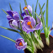 Crocus flowers bouquet in flower pot on blue background — Stock Photo #23529267