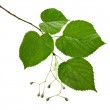 Linden tree branch isolated on white background — Stock Photo
