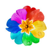 Rainbow multicolored flower head bud isolated on white background — Stock Photo