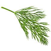 Foglia di aneto erba vicino macro isolato su sfondo bianco — Foto Stock